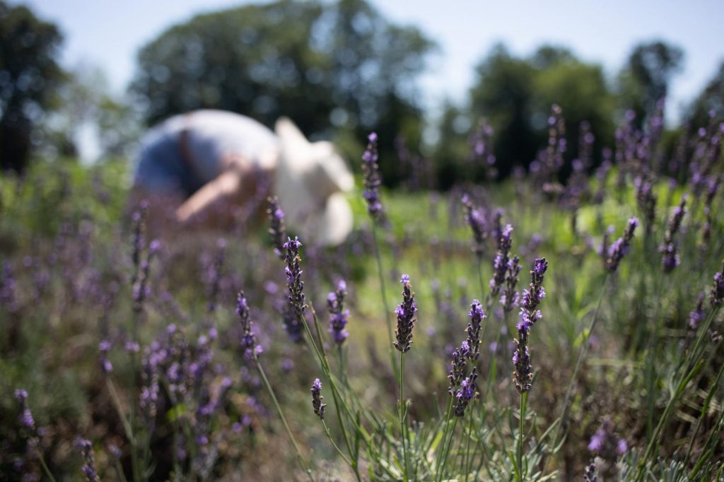 woman picking lavender in garden