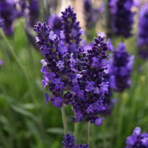 Lavendula angustifolia 'Blue Spear' (Farm Pickup Only)