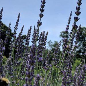 Lavender Planting & Care Workshop