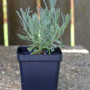 Lavendula x-intermedia 'Grosso'  (Farm Pickup Only)