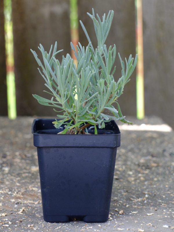 Lavendula x-intermedia 'Grosso' lavender plant