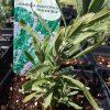 Hidcote Lavender Plant