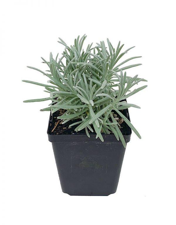 Phenomenol Lavender Plant